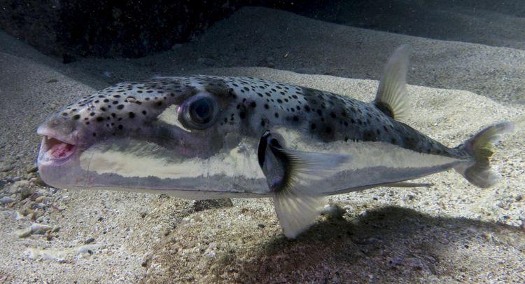 Un Lagocephalus sceleratus, poisson ballon à bandes argentées. Photo Oren Klein