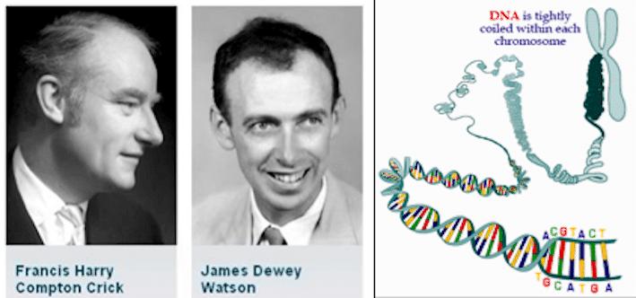 واطسون وكريك واكتشاف الشكل الحلزوني (اللولبي المزدوج) للحمض النووي DNA في 1953 والذي يُعتبر أعظم أكتشاف في تاريخ علم البيولوجيا