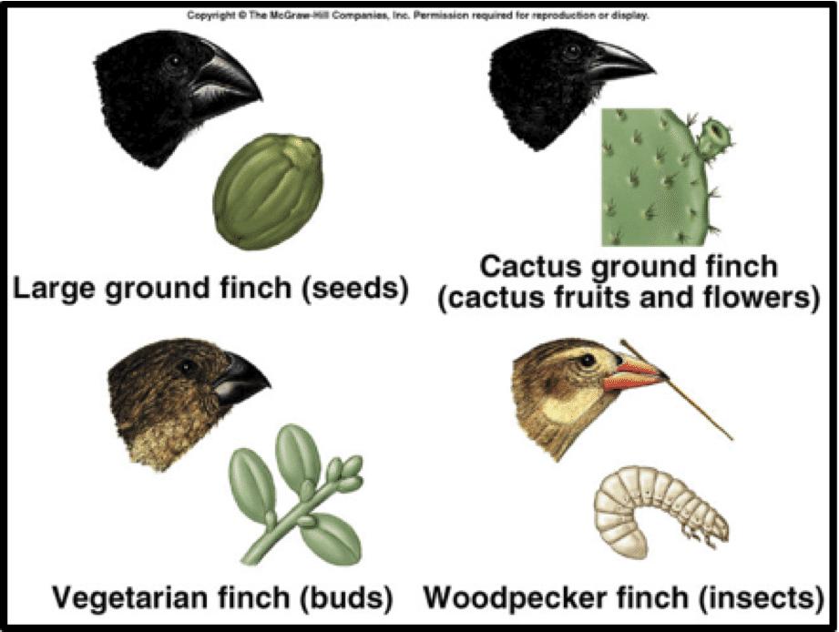 اختلاف شكل المنقار تكيفاً مع نوعية الغذاء عند عصافير دارون رغم انحدارها من أصل واحد